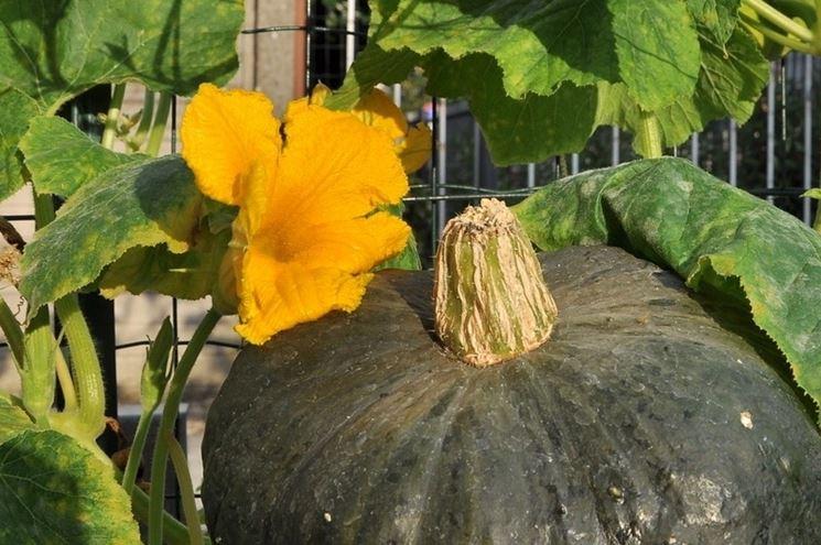 Come coltivare la zucca verde