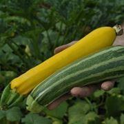 Zucchina gialla e verde