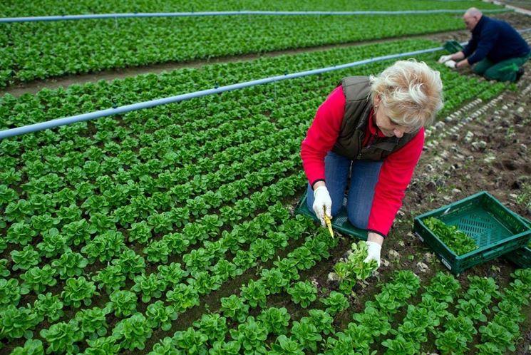 Donna che raccoglie insalata biologica in Germania