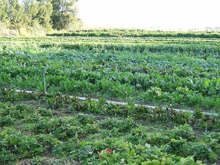 Una coltivazione biologica