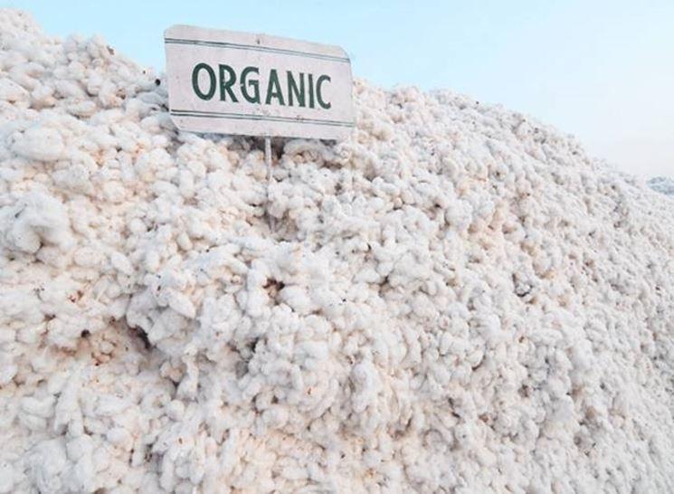 Un campo di cotone biologico