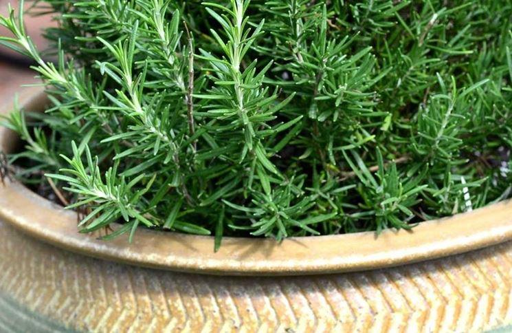 Piante di rosmarino in vaso