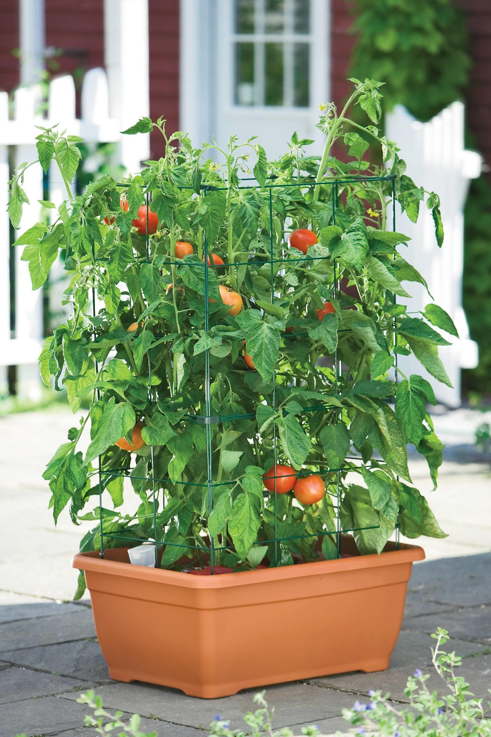 Coltivare pomodori in vaso o nell'orto - cucina green.