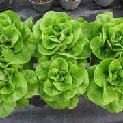 Insalatina coltivata su balcone