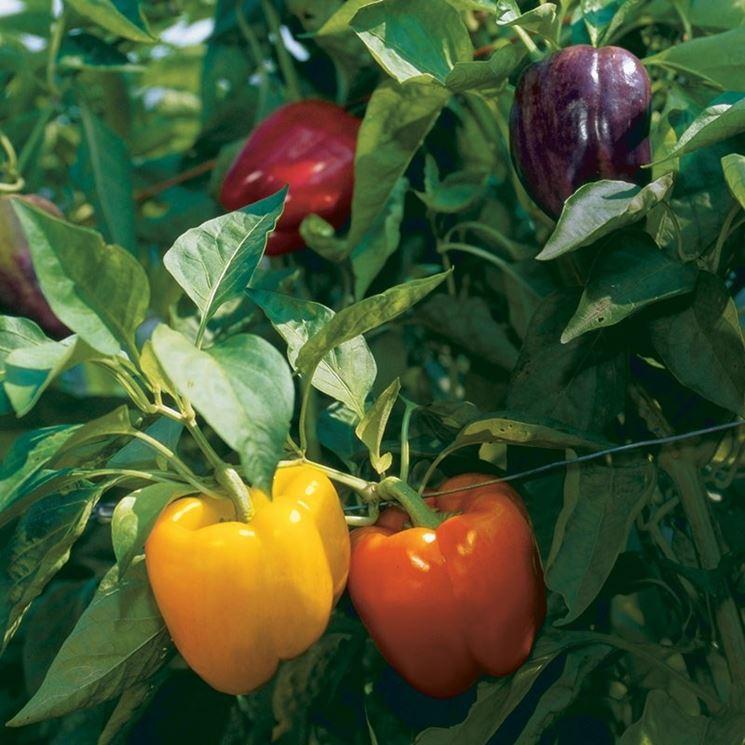 pianta peperoni e colori