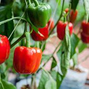 peperoni pianta