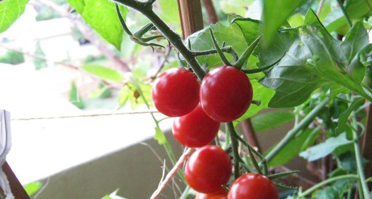 pianta di pomodoro da terrazzo