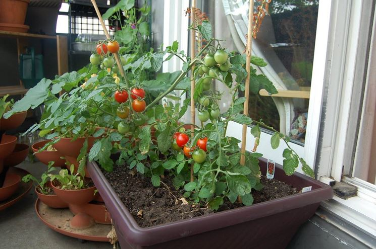 piccoli pomodori da terrazzo appena raccolti