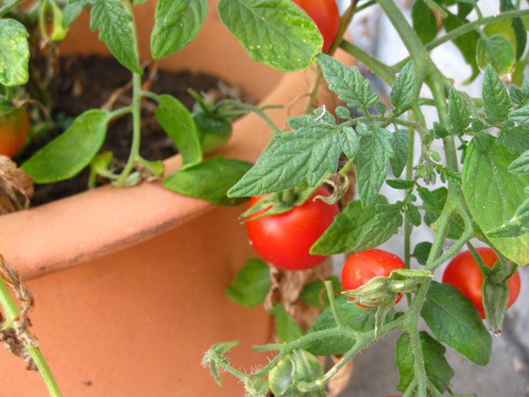 Pomodori sul terrazzo orto in terrazzo pomodori terrazzo - Cucina sul terrazzo ...