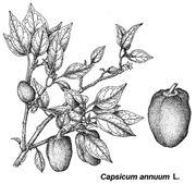 peperoncino jalapeno