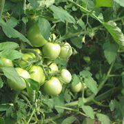 Pomodori ancora acerbi