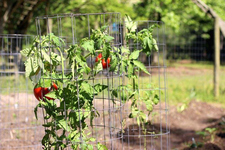Coltivazione Pomodori Pomodoro Come Coltivare Pomodori