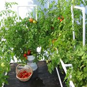 pomodori serra inverno