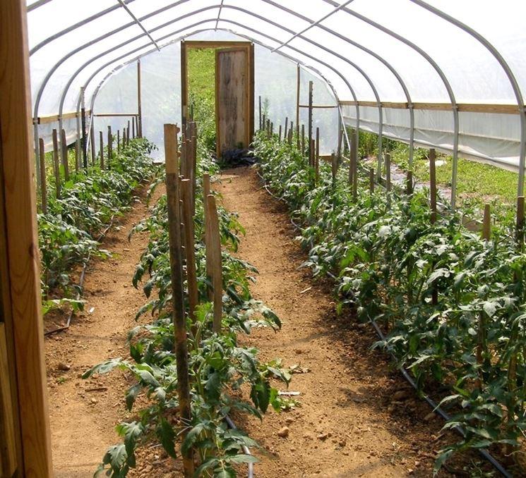 serra pomodori