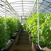 coltivare i pomodori