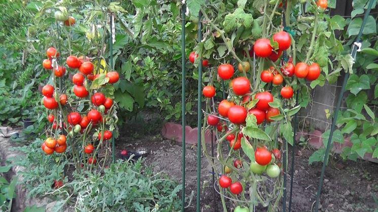 Piante pomodori