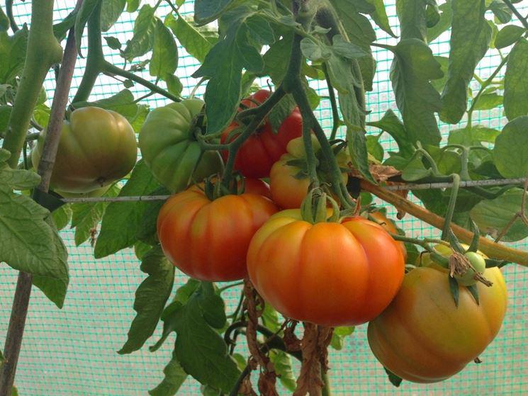 consigli coltivazione chilo