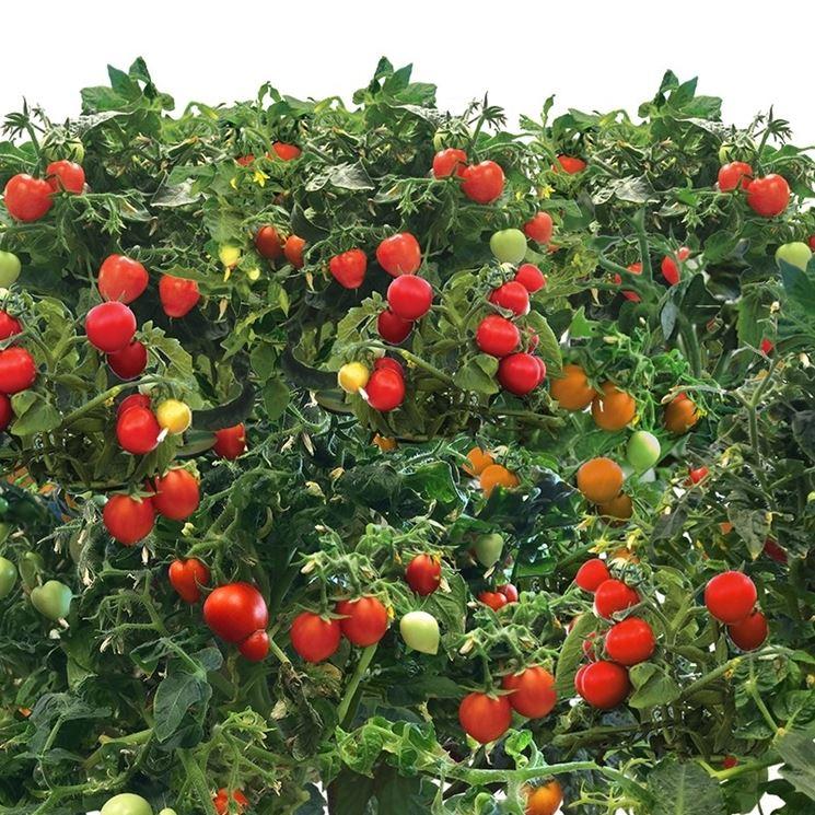coltivazione pomodoro ciliegino
