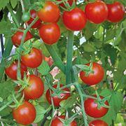 pianta di pomodoro