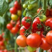Semina pomodoro pomodoro seminare i pomodori for Piantare pomodori