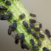parassiti delle piante