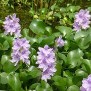 fiore acquatico