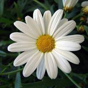 pianta annuale