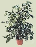 Fiori secchi domande e risposte piante appartamento for Ficus benjamin perde foglie