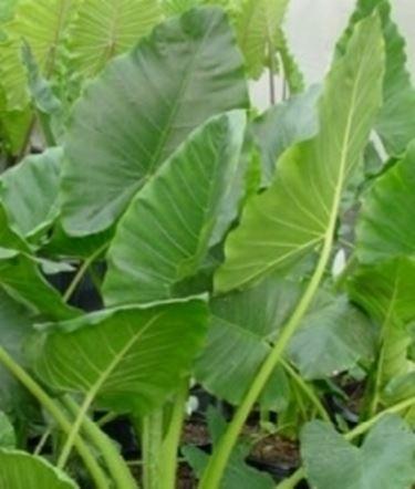 Ingiallimento Alocasia - domande e risposte piante ...