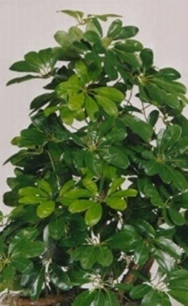 Pianta da schermo domande e risposte piante appartamento for Piante e fiori da appartamento