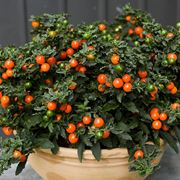 Solanum domande e risposte piante appartamento for Pianta solanum