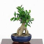 bonsai fico