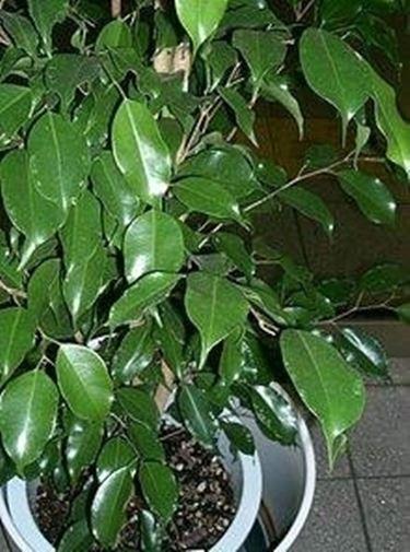 Ficus Benjamin 2
