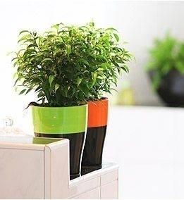 Ficus benjamina ficus come coltivare il ficus benjamina for Ficus benjamin potatura
