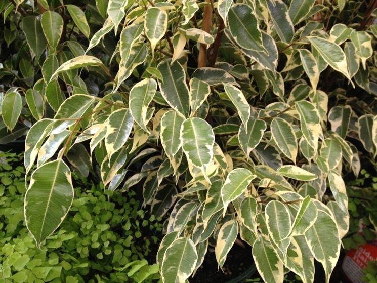 Attractive Verdevip Ficus Benjamin Verde   Albero Artificiale Da Arredo Interno Con  Tronco Vero   Alto 125 Cm   Largo 50 Cm