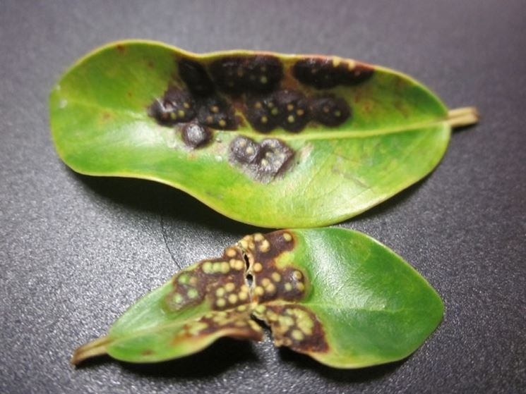 malattia ficus benjamin cocciniglia bruna