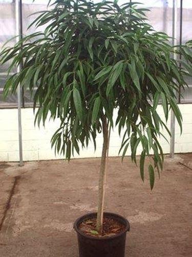 Ficus Binnendijkii 2