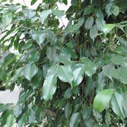 ficus benjamin perde foglie