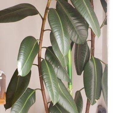 Ficus elastica potatura - Ficus