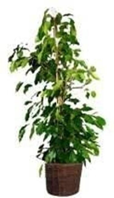 Ficus foglie gialle ficus for Bonsai pianta