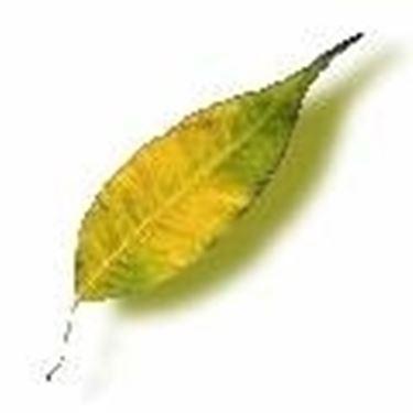 ficus foglia gialla