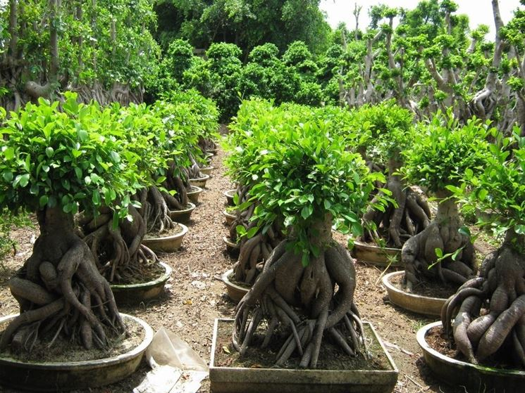 ficus ginseng ficus caratteristiche del ficus ginseng. Black Bedroom Furniture Sets. Home Design Ideas