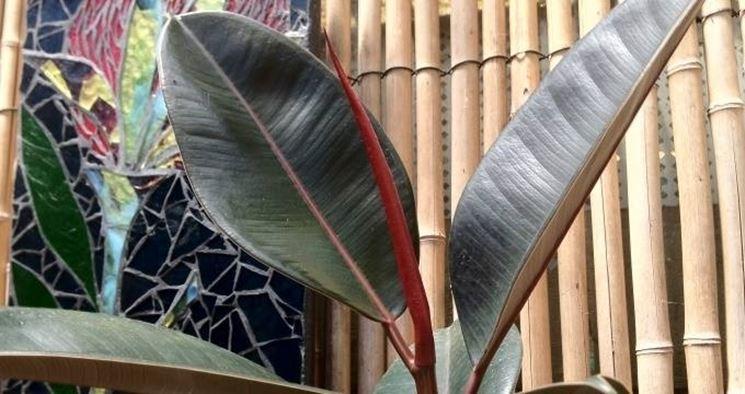 Ficus indiano