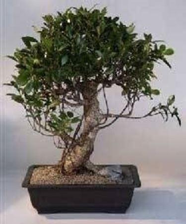 Ficus retusa bonsai 2