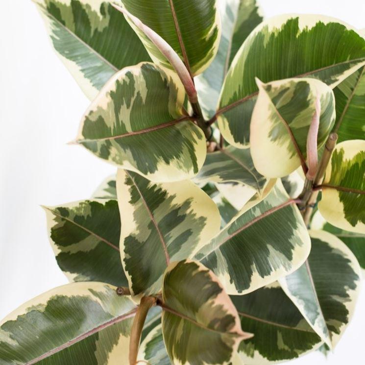 ficus robusta variegato
