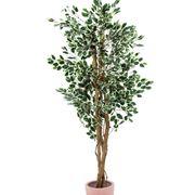 ficus pianta