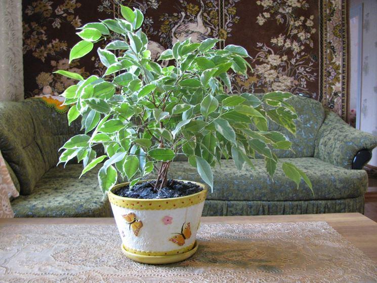 Ficus benjamin in vaso