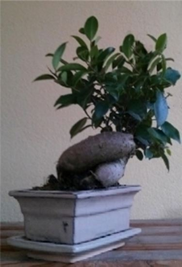 ginseng ficus bonsai ficus. Black Bedroom Furniture Sets. Home Design Ideas