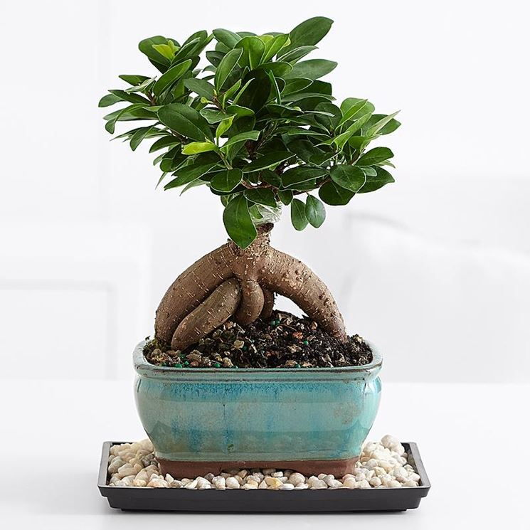 ginseng ficus bonsai ficus caratteristiche bonsai. Black Bedroom Furniture Sets. Home Design Ideas