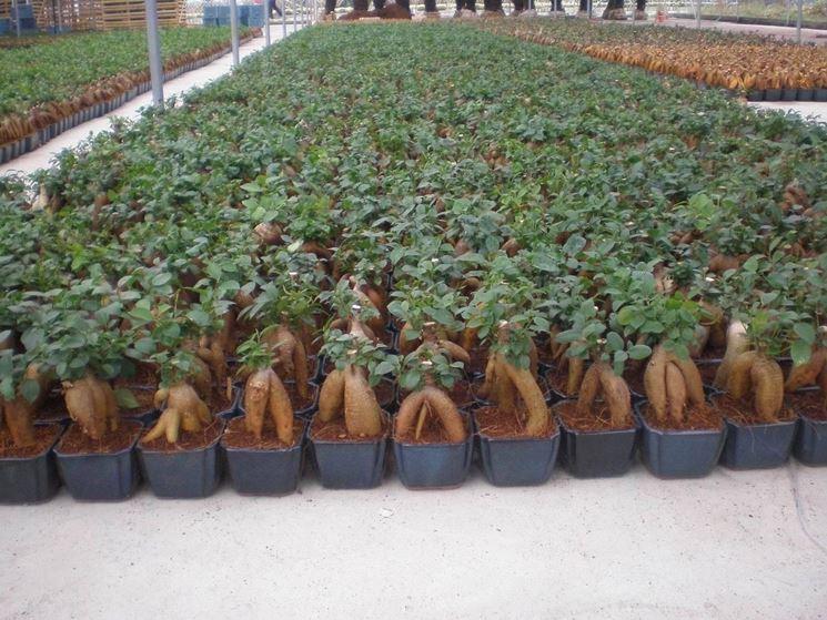 bonsai ginseng coltivazione